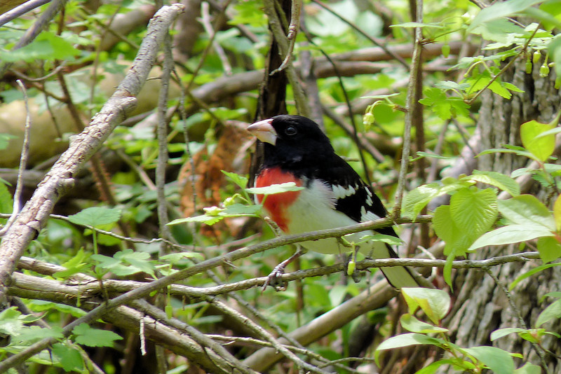 Rose-breasted Grosbeak, May 12th, 2011