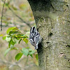 Black-and-white Warbler, May 12th, 2011