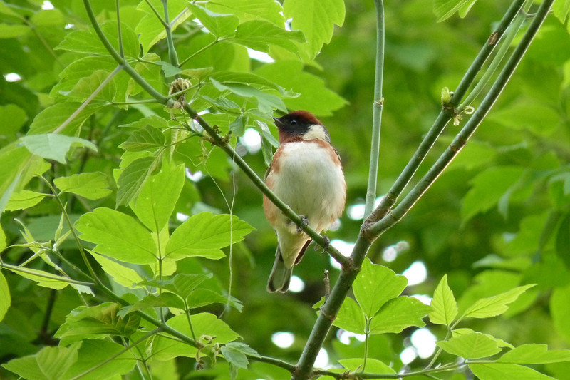 Bay-breasted Warbler, May 11th, 2011