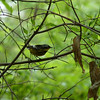 Magnolia Warbler  May 14th, 2011