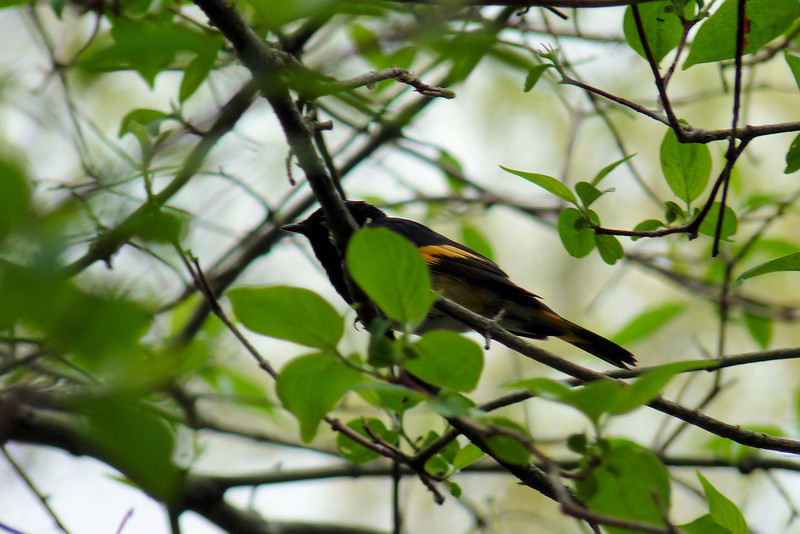 American Redstart -- I found them impossible to photograph well because they were in constant motion!  I got to spend this entire day at Magee Marsh Wildlife Area!  May 14th, 2011