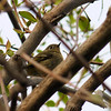 Ruby-crowned Kinglet, May 11th, 2011
