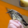 Northern Waterthrush,  May 14th, 2011