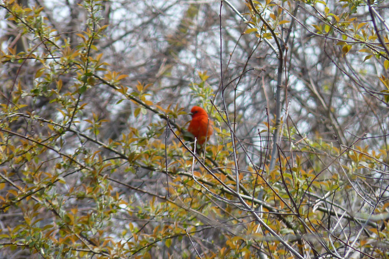Scarlet Tanager, May 12th, 2011