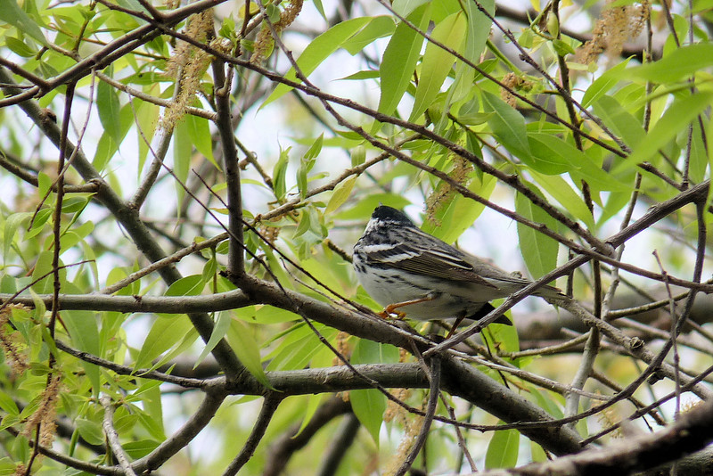 Blackpoll Warbler,  May 14th, 2011