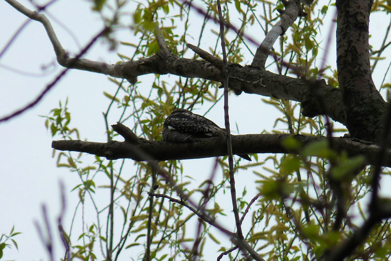 The next morning at Magee Marsh started with a Common Nighthawk spending the day pretending to be a lump on a tree.  May 13th, 2011