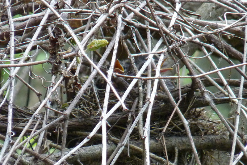 Very well-hidden American Robin's nest with a couple of hungry nestlings.  Magee Marsh Wildlife Area,  May 13th, 2011