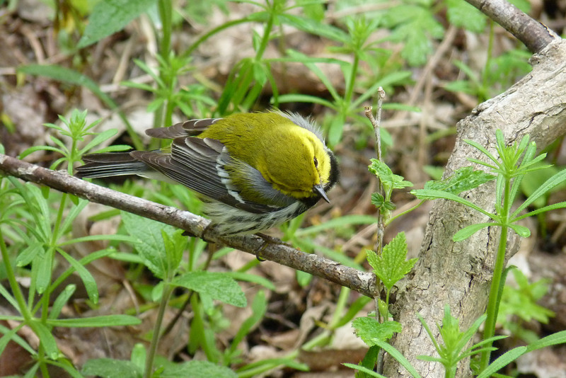 Black-throated Green Warbler; I just missed the photo opportunity where he pulled a big bug from under a leaf and gobbled it down!  May 14th, 2011