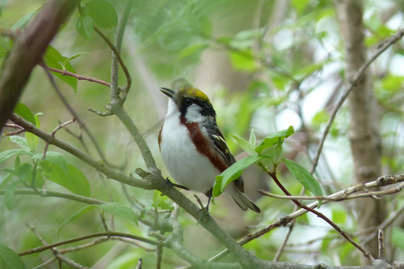 Chestnut-sided Warbler,  May 13th, 2011