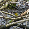 Prothonotary Warbler -- this is the female, who is much less showy that her male partner.  May 14th, 2011