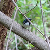 Black-throated Blue Warber,  May 13th, 2011