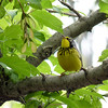 Canada Warbler,  May 14th, 2011