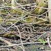 Wood Thrush, Ottawa National Wildlife Refuge,  May 13th, 2011