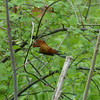 The male Orchard Oriole would not cooperate for a photo!  ,May 12th, 2011