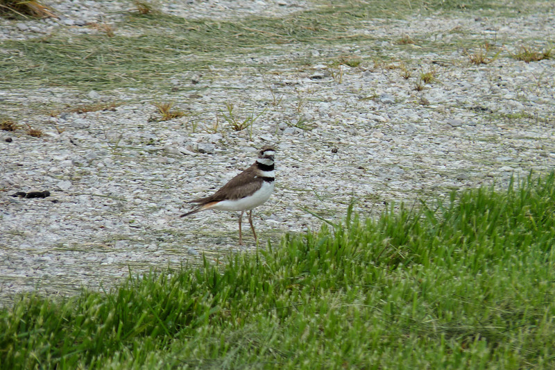 Killdeer,  May 14th, 2011