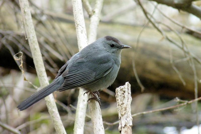 Gray Catbird, May 11th, 2011