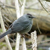 Gray Catbird, May 11th, 2011