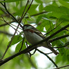 Chestnut-sided Warbler,  May 14th, 2011