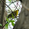 Wilson's Warbler,  May 13th, 2011