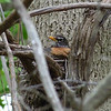 There were nesting robins all over!  May 13th, 2011