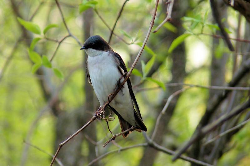 Tree Swallow, May 11th, 2011