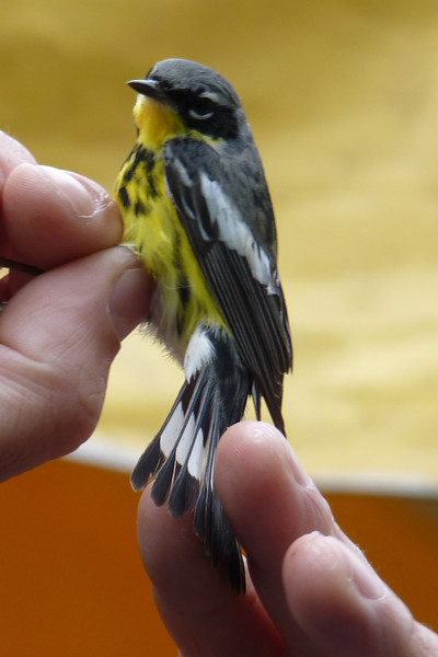 Newly banded Magnolia Warbler,  May 14th, 2011