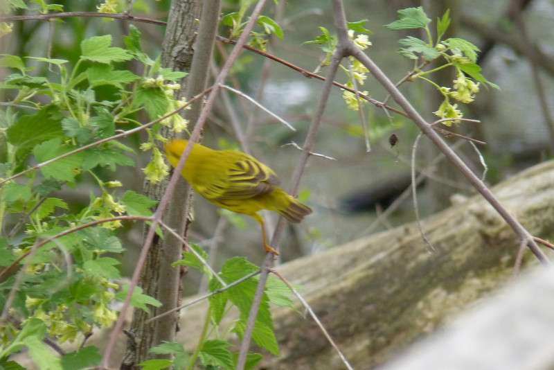 Yellow Warbler, May 11th, 2011