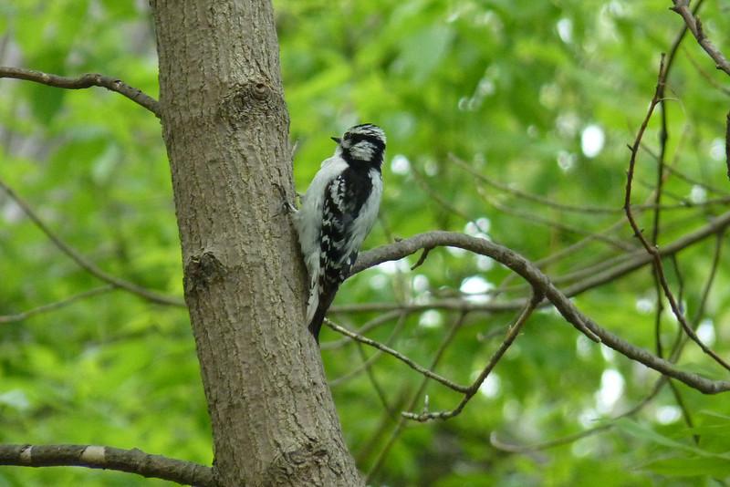 Downy Woodpecker,  May 14th, 2011