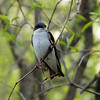 Tree Swallow, May 11th, 2011