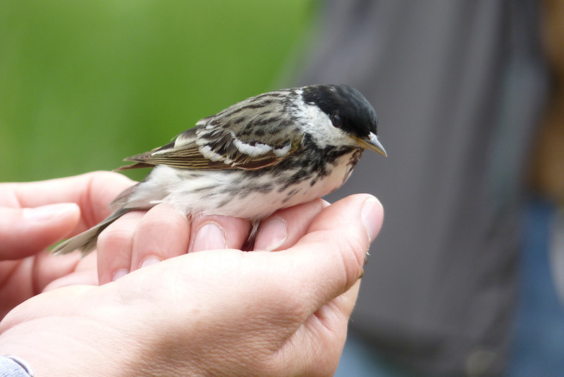 I stopped by the banding station at Magee Marsh and watched as they banded and released warbler after warbler!  This is Blackpoll Warbler about to be released.  May 14th, 2011