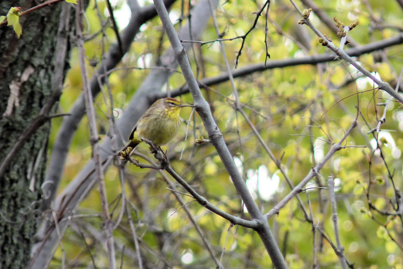 Palm Warbler, May 11th, 2011
