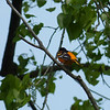 Baltimore Oriole at Cedar Point National Wildlife Refuge,  May 13th, 2011