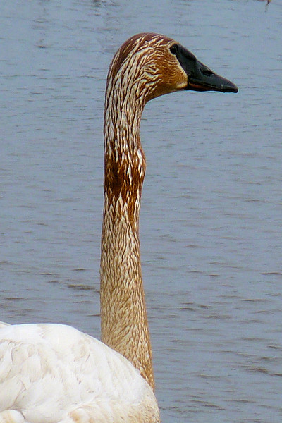 This Trumpeter Swan looks like he is still working on his last bite of food.