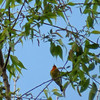 This Blackburnian Warbler gave us a bad case of warbler-neck, hanging way up in the top of a tall willow tree.