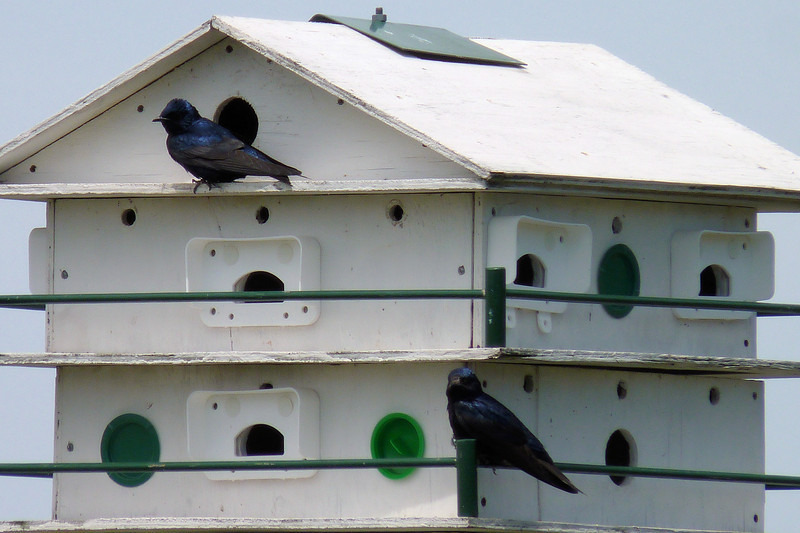Purple Martins at Ottawa National Wildlife Refuge