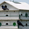 Purple Martins at Ottawa National Wildlife Refuge