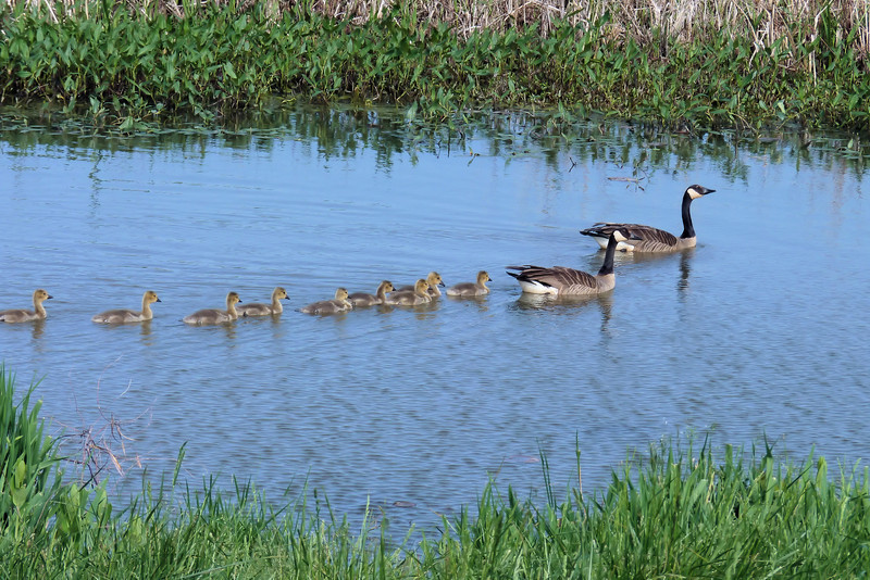 This Canada Goose family had lots of surviving chicks.