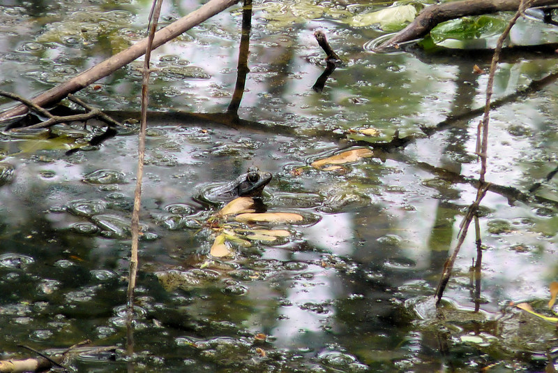 Back at Magee Marsh Wildlife Area, we scanned the swamp, hoping for a Prothonotary Warbler, but found only this frog.