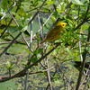 Yellow Warbler at Magee Marsh