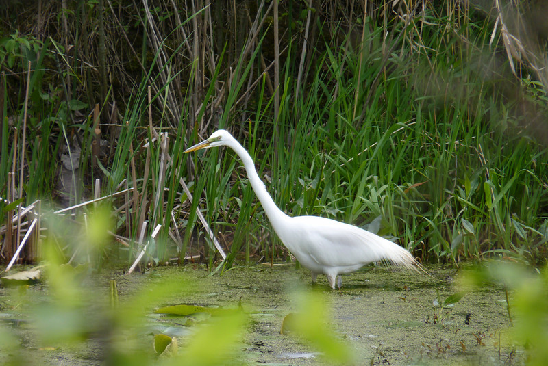 Great Egret at Magee Marsh