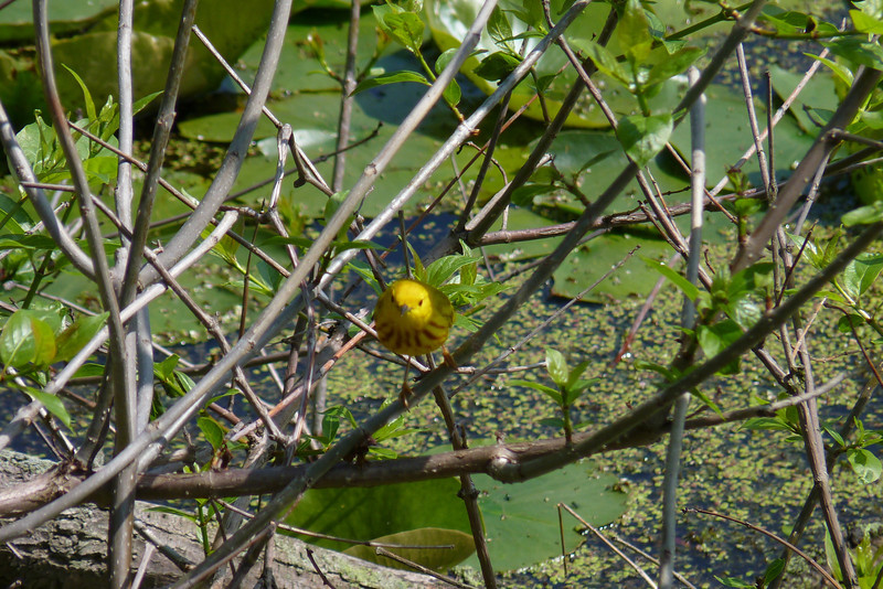 The woods at Magee Marsh were full of Yellow Warblers.