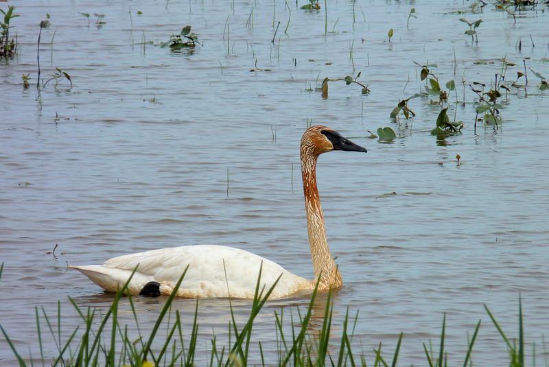 Trumpeter Swan at Ottawa National Wildlife Refuge