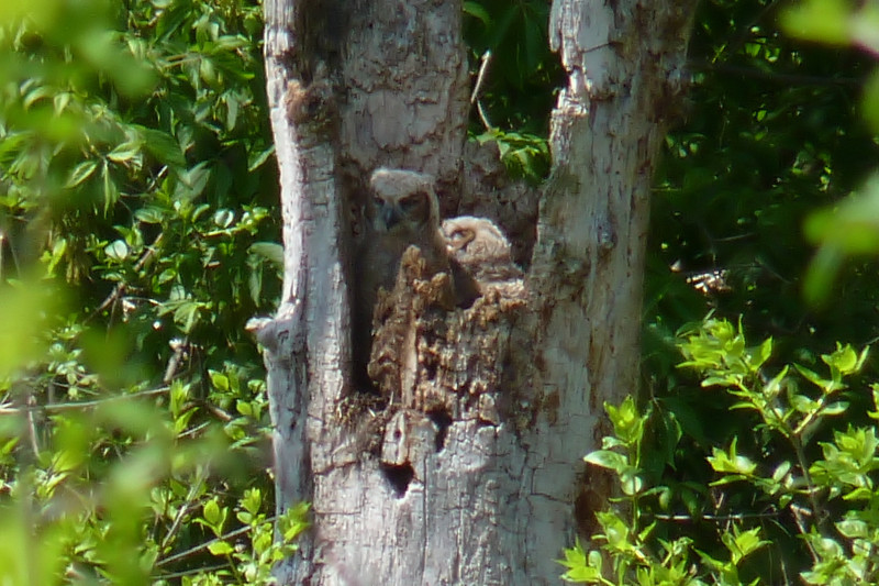 There was a great line to see these two Great Horned Owl chicks in their nest tree.  They were only visible from one specific spot on a bench, so people lined up for a look.
