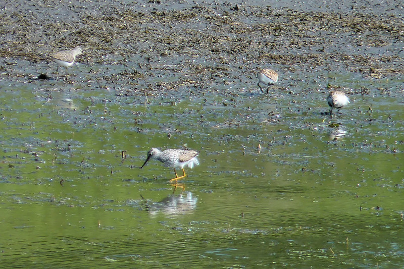 "On our ""birding hotspots"" field trip we visited a spot called Camp Sabroske where we saw many shorebirds, including this Greater Yellowlegs and Dunlin."