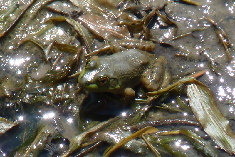 We headed to Ottawa National Wildlife Refuge to see what we could find.  Mostly we found frogs.