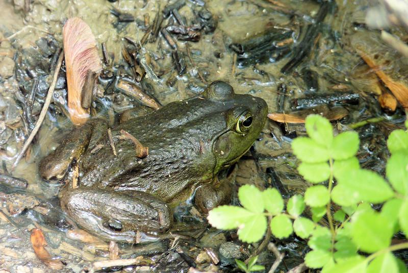 Frog at Ottawa NWR.