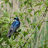 Ottawa NWR had a huge population of Tree Swallows.
