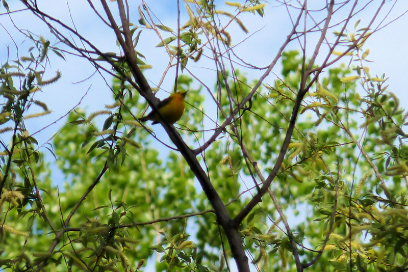 Day 2 at Magee Marsh starts with a Prothonotary Warbler.