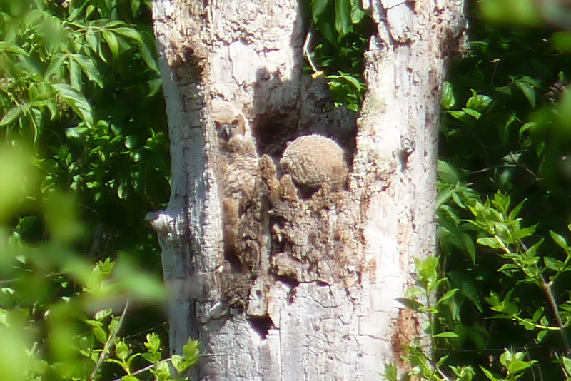 The Great Horned Owl chick on the right has keeled over in a hard snooze, while his/her sibling on the left keeps an eye out.