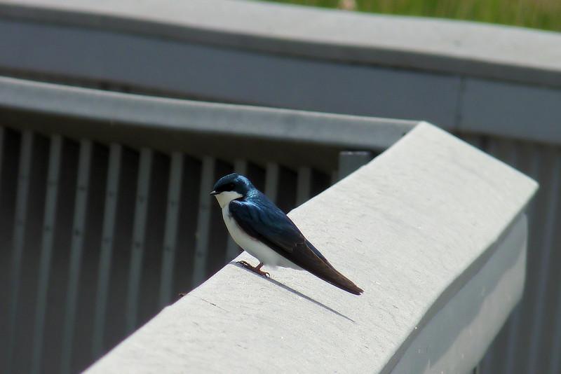 Tree Swallow at Ottawa National Wildlife Refuge
